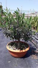 PIANTA DI ULIVO ALBERELLO pre bonsai in ciotola altezza 40 CM  (foto reali)