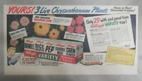 Kellogg's Cereal Ad: 3 Chrysanthemum Plants From 1948 Size: 7.5 x 15 inches