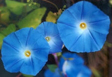 50 Morning Glory Seeds Heavenly Blue Seeds