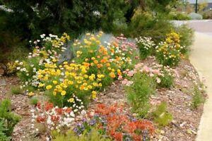 Everlasting Daisy 250 Seeds XEROCHRYSUM bracteatum Mixed Colours