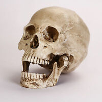Halloween Party REAL SKULL REPLICA - Looks Real, Same Size as Mankind