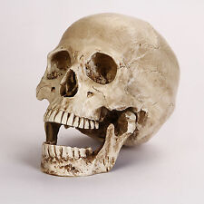 Halloween REAL SKULL REPLICA - Looks Real, Same Size as Mankind