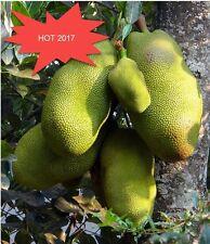 10Pcs Fresh Jackfruit Seeds Tropical Rare Giant Tree Seeds, Miracle Fruit Seeds