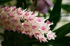Rhynchostylis retusa Bloom size 2 inch pot SPECIES