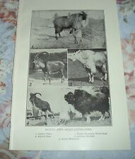 1919 Goats & Antelopes Asiatic Tahr Alpine Ibex African Aoudad Musk-Ox Print