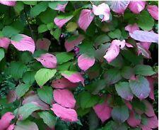5ft 10litre Hardy Painted kiwi plant fabulous Spring leaves - Actindia kolomikta