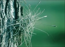 25!! Clusters Live Tillandsia Ball Moss Air Plants - Florida grown!! Very Cool