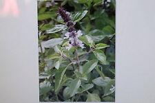 20 Semillas Albahaca de anís,Ocimum basilicum (albahaca) cv # 208