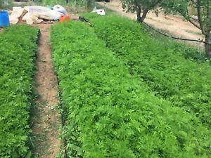 Artemisia Annua Samen Qing Hao GvK Spezial