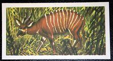 BONGO   Forest Antelope    Vintage Colour Card # VGC
