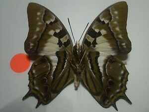 Real Insect/Butterfly/Moth Set Spread B7252 Rare Large Polyura pyrrhus