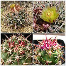 50 semi di Ferocactus viridescens ,piante grasse,seed cactus