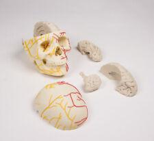 Neurovasculärer Schädel mit Gehirn Nerven und Gefäße