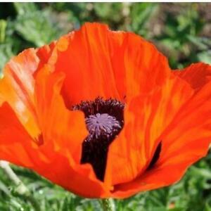 Poppy Papaver Orientale Orange Scarlet 100 Seed Pack