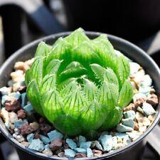 CG: Haworthia cooperi var. picturata Succulents Echveria Lithops Aeonium