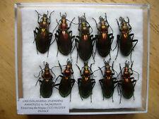 Chrysocarabus splendens najacensis (Carabidae)