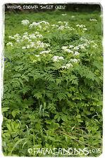 Myrrhis odorata 'Sweet Cicely' [ex. Co. Durham] 50+ semillas