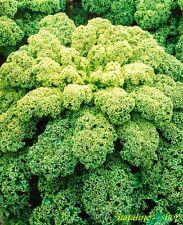 Grünkohl 70 Samen *Wintergemüse mit Superkräften *Braunkohl Krauskohl *Kohlsamen