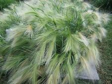 100+ Samen Hordeum jubatum - Mähnengerste