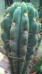 T.  Werdermannianus (Echinopsis Werdermannianus) Seeds x20