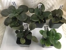Five African Violet Starter Plants - See Winter Shipping Below