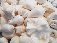 4 lbs Large White Wedding Shell Mix Seashells Beach Cottage Decor Nautical BULK