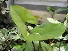 3 graines de PATTE D' OIE (Syngonium Podophyllum)G874 ARROW LEAF SEEDS SEMILLAS