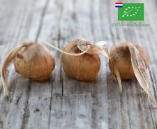 100 Bulbi di Zafferano BIO (Crocus sativus) calibro 10/+ PREVENDITA