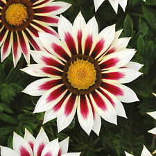 Annuals  NEW 2015  *Hybrid    Gazania*  New Day Rose Stripe  10 Seeds