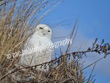 Snowy Owl 8x10 Print Wildlife Photography glossy & signed w./ white mat