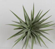 Tillandsia Plagiotropica Live air plant bioactive natural house plant vivarium