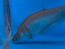 """Gold clown knife 4"""" in length live tropical fish"""