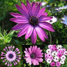 70X African Daisy Osteospermum Ecklonis Plant Annual Flower Garden Rare Seed