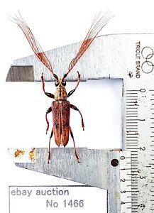 Cerambycidae sp 23mm from Talisei Indonesia