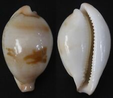 "Cypraea hirasei, ""VERY SMALL"", 34.2mm, F++, dwarf, very small chip"