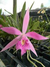 New listing B Nodosa Dwarf x Slc Red Angel orchid plant (164)