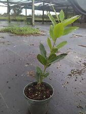 Bay Laurel Bay Leaf tree  Laurus nobilis  almost foot tall free shipping!