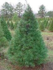 Eastern White Pine Tree - Evergreen Live Established - 1 Gallon