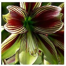 Amaryllis Bulbs,Hippeastrum Bulbs,3-5 cm in diameter,100% sprouting 2PC COLOR 3