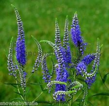 100grams 1400,000 Veronica Spicata Seeds Spiked speedwell Flower Herb wholesales