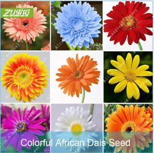 100Pcs Gerbera Chrysanthemum Flower Seeds Ordinary 8 Kind Color Perennial Bonsai