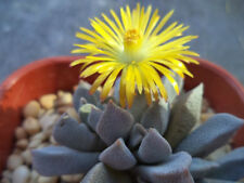 Glaucous Leaved Aloinopsis Seed Arid Subtropical Living Popular House Plant