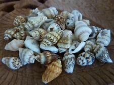 40 pce Dainty Cone Sea Shell Beads Various Sizes Beach Hanging Decorations Craft