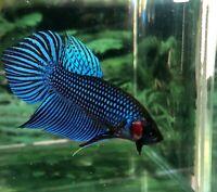 betta fish male Wild Alien Blue Jr BAF436