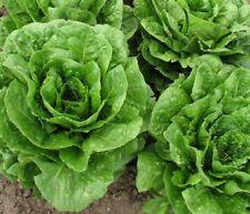 Buttercrunch Leaf LETTUCE 1000 - 8000 Seeds Butterhead tender Fall Iron Bulk