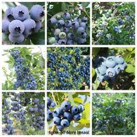 50Pc Blueberry Fruit Seeds Vaccinium corymbosum 20 Kinds Perennial Garden Plants
