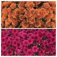 Autumn Hues Garden Mums/Belgian Mum Combo Now 12 Annual Flowering Plants/Plugs