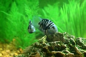6 Live Polar Blue Parrot Cichlids  Assorted Sizes Tropical Aquarium Fish