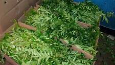 Indian Fresh Curry leaves(100 Grams)100 % Organic Natural Leaves-FREE SHIPPINGSS