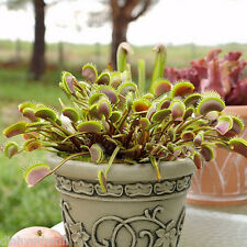 Dionaea Muscipula Giant Clip Venus Fly Trap Seeds - 300 Seeds - 100% Real Seeds